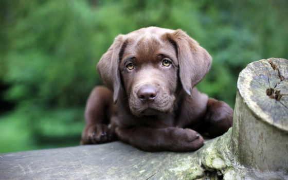 собаки, фото, картинка, labrador, собака, разрешениях, других, ретривер,