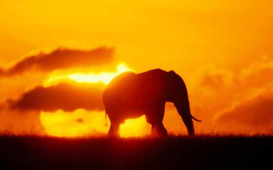 слон, силуэт, слоны