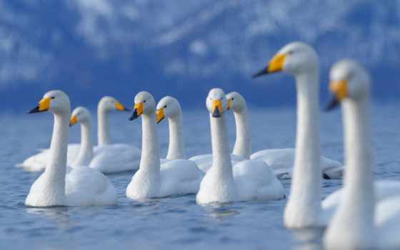 лебеди, озере, белые