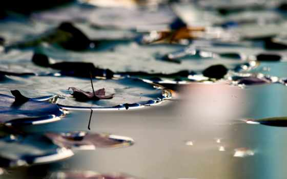 lily, pad, water,