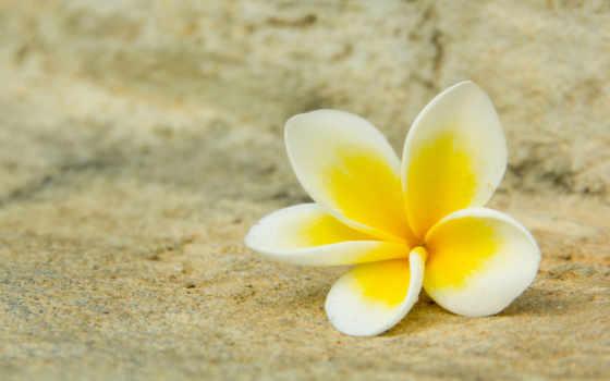 цветок, плюмерия