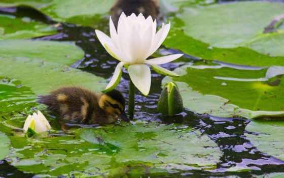 water, lily, нимфея Фон № 81397 разрешение 1920x1200