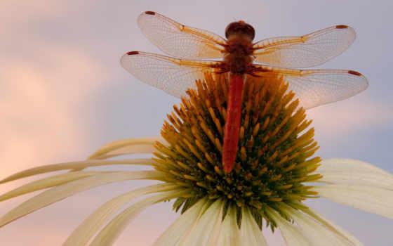 насекомые, израиля, стрекоза, цветы,