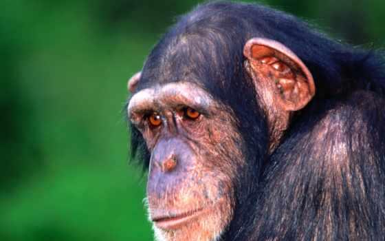шимпанзе, pan, зооклубе,