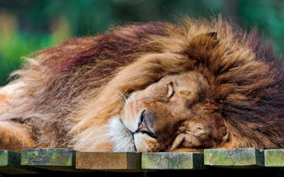 lion, хищник