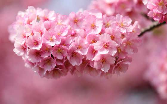 Сакура, cherry, cvety, мар, petals, одноклассники, макро, япония, проживания,
