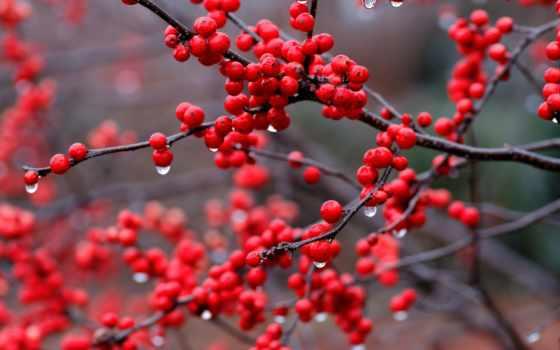ягоды, branch, капли, дождь, red, листва,