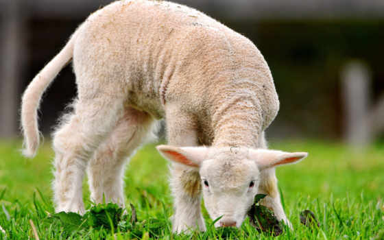 sheep, zhivotnye, красивая,