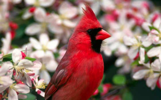 desktop, resolution, red, bird, ani, northern, salveaz,