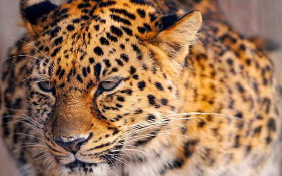 животные, леопард, природа