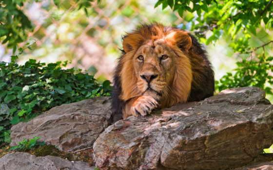 красивые, lion, только