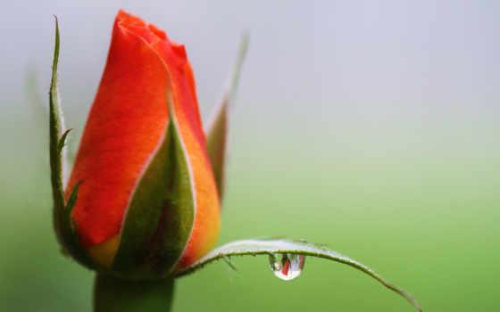 роза, бутон, цветы