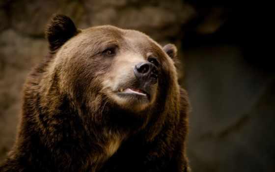 медведь, морда, взгляд