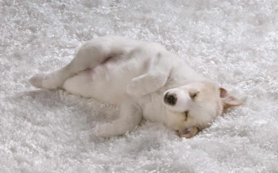 собака, щенок, лайка, белый, ковёр