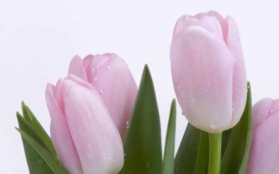 красивые, цветы, тюльпаны