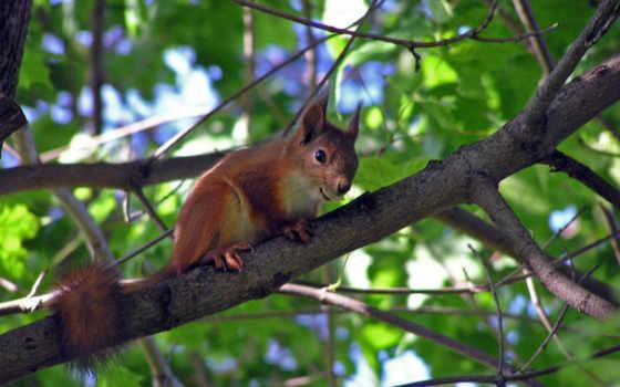 sfondi, scoiattoli,