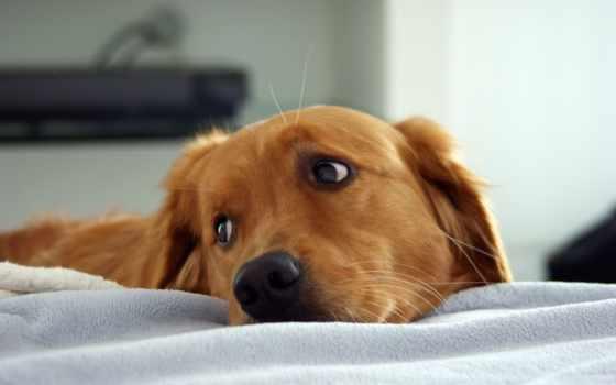 собака, рыжая, собаки, сквозь, смотрит, плечо, сторону,
