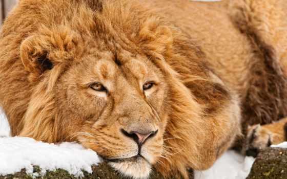lion, львы, снег
