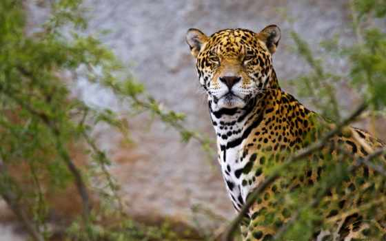 jaguar, iphone, animal, mobile, фон, desktop, widescreen,