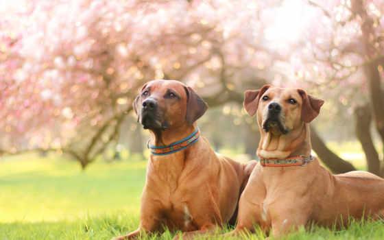 собака, тематика, magnolia, portrait, большой, animal, garden, газон, цветение, psy, два