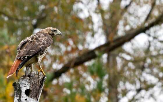 animal, птица, hawk, орлан, dimension, дерево, ushlar, ush