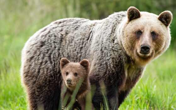 медведь, детёныш, браун, два, she, мама, луг, зелёный, ursus, фото, copy