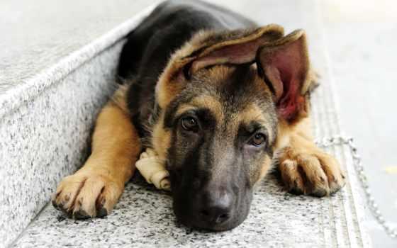 овчарка, собаки, животные Фон № 58377 разрешение 2560x1600
