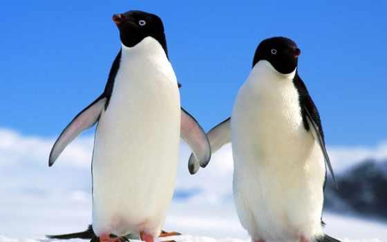 que, пингвин, animal, dimorfismo, pinterest, penguins, animais,