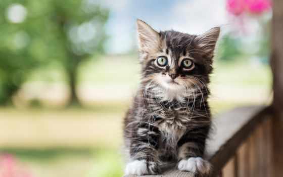 tapety, pulpit, kot, kotek, brytyjski, tapet, kliknięciem, jednym, pulpicie, umieścić,