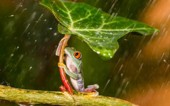 лягушка, лягушки, листом, смешные, под, дождя, древесная, прячется, зеленым,