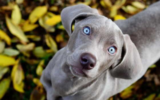 собака, глаз, blue, порода, color