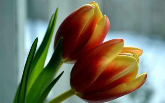 тюльпаны, цветы, coupe
