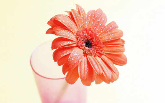 герберы, цветы, gerbera, родом, хризантемы, большинство, другие, замечательные, еще, коллекция, сортов,