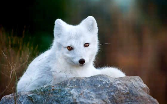 фокс, белая, arctic fox, уши, нос, камень, полярная, трава,