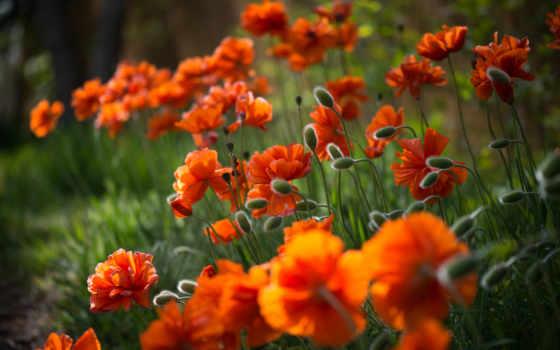 flowers, оранжевый, cvety