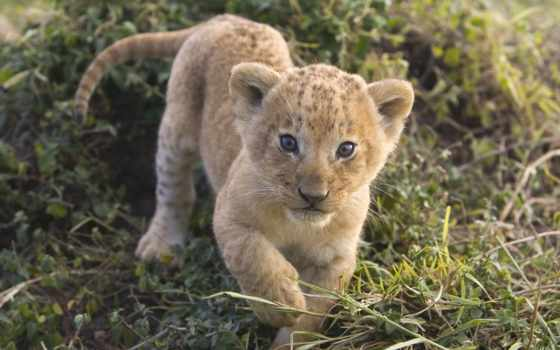 львы, lion, zhivotnye