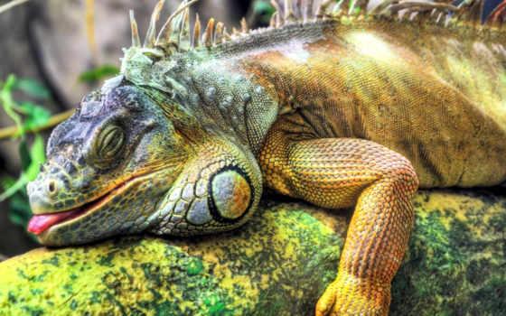 iguana, игуаны, большая