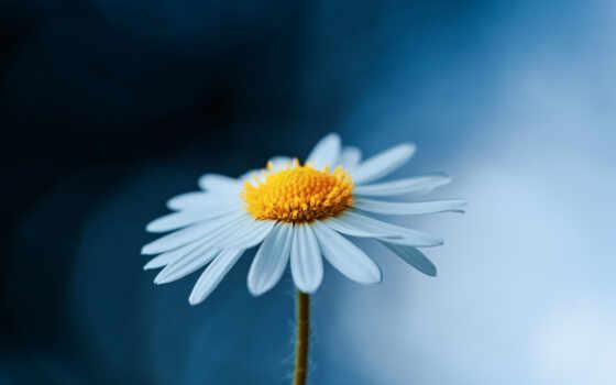 daisy, цветы, oxeye, free