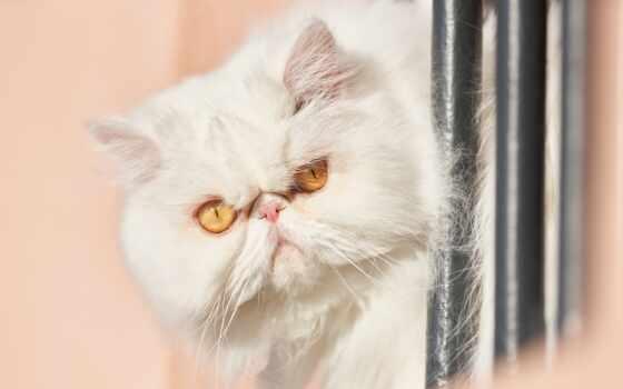 persian, кот, white, взгляд, морда, пушистый, mobile, коты, yellow