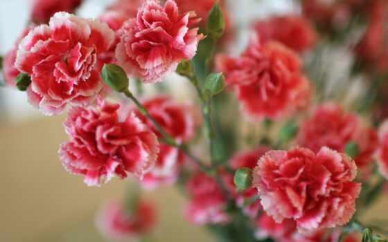 carnation, цветы, gvozdika, rehab, семья, duhi, отзыв, caryophyllus, использование, много