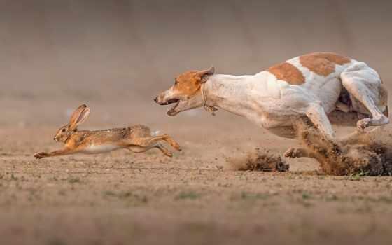 заяц, собака, race