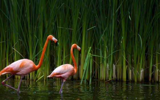 фламинго, красивые, заставки, широкоформатные, птицы,
