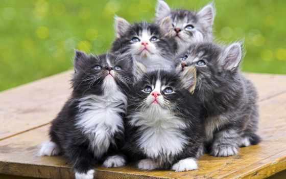 котята, котят, серые,