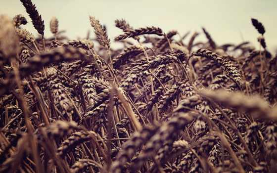 колосок, трава, поле, колоски, колосья, макро, природа, пшеница,