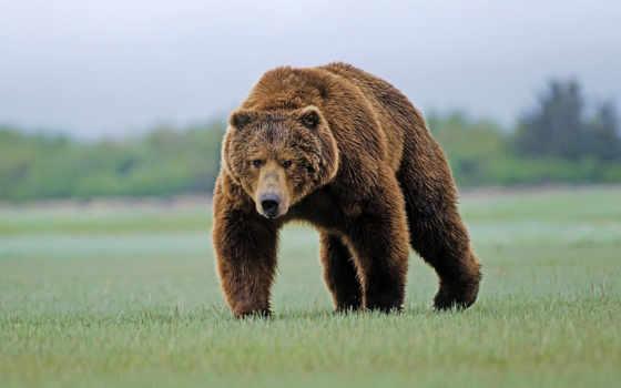 медведь, russian, свой, охоте, канадский, растет, аппетит, медведи, браун,