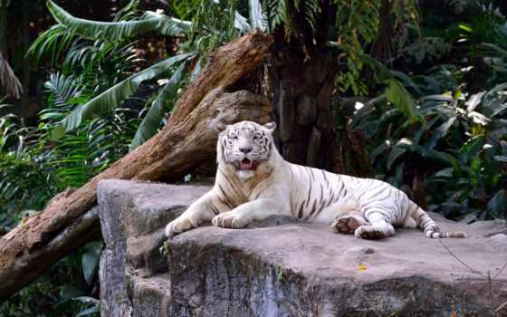 white, кот, высоком, хищник, тигр, pinterest, дикая,