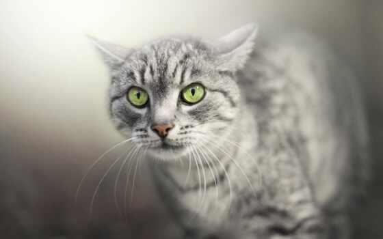 кот, глаз, зеленое, серый, бакенбарды, animal, free, white, морда, striped