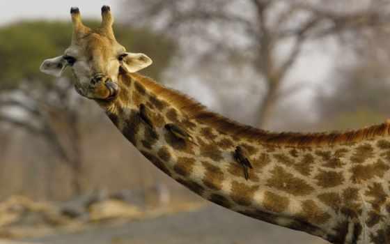 жираф, жирафы, коллекция, жирафа, картинок, desktopwallpape, дек, сайте,