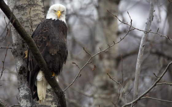 птица, орлан, перепелятник, хищник, дерево, дерева, крылья, гілки,
