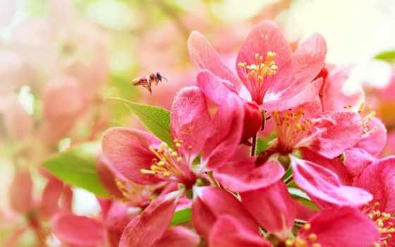 cvety, пчелка, весна, цветы, опыляет, широкоформатные, Сакура, природа, click, one, красивые,